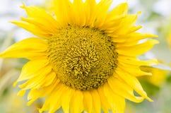 Primo piano del fiore del sole Fotografia Stock