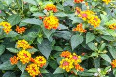 Primo piano del fiore del tagete Immagine Stock