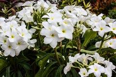 Primo piano del fiore del tagete Fotografia Stock