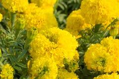 Primo piano 2 del fiore del tagete fotografia stock