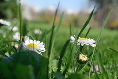 Primo piano del fiore delicato della margherita fotografia stock