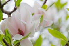 Primo piano del fiore dell'albero della magnolia Fotografia Stock Libera da Diritti