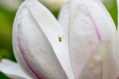 Primo piano del fiore dell'albero della magnolia Immagini Stock Libere da Diritti