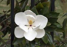 Primo piano del fiore dell'albero grandiflora della magnolia immagini stock