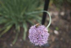 Primo piano del fiore dell'allium Fotografia Stock