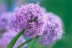 Primo piano del fiore dell'allium Fotografia Stock Libera da Diritti