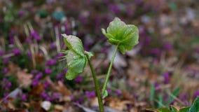 Primo piano del fiore dell'elleboro con le gocce di acqua fotografia stock libera da diritti