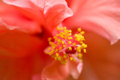 Primo piano del fiore dell'ibisco Fotografia Stock Libera da Diritti