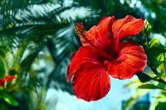 Primo piano del fiore dell'ibisco Immagine Stock Libera da Diritti