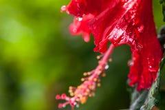 Primo piano del fiore dell'ibisco su fondo verde fotografie stock libere da diritti