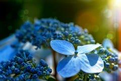 Primo piano del fiore dell'ortensia fotografia stock