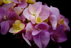 Primo piano del fiore dell'ortensia - rosa e giallo Fotografia Stock Libera da Diritti