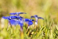 Primo piano del fiore della genziana della primavera Fotografie Stock