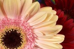 Primo piano del fiore della gerbera Fotografia Stock Libera da Diritti