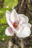 Primo piano del fiore della magnolia fotografie stock libere da diritti