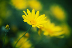 Primo piano del fiore della margherita Fotografie Stock Libere da Diritti