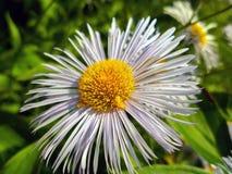 Primo piano del fiore della margherita bianca Fotografia Stock