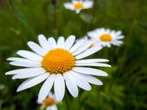 Primo piano del fiore della margherita bianca Primo piano della camomilla Fotografia Stock