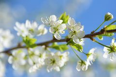 Primo piano del fiore della prugna sul fondo del cielo blu nel giorno soleggiato Immagine Stock