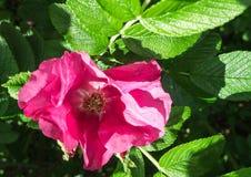 Primo piano del fiore della rosa rossa Fotografia Stock Libera da Diritti