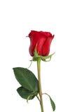 Primo piano del fiore della rosa rossa isolato sul percorso di ritaglio bianco incluso Fotografie Stock Libere da Diritti