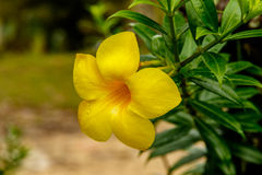 Primo piano del fiore della tromba dorata in Tailandia Fotografia Stock