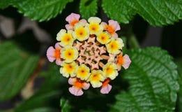 Primo piano del fiore della verbena Immagine Stock