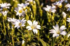 Primo piano del fiore di biebersteinii del Cerastium Fotografie Stock