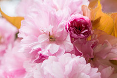 Primo piano del fiore di ciliegia Immagine Stock Libera da Diritti