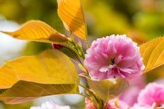 Primo piano del fiore di ciliegia fotografia stock libera da diritti