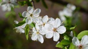 Primo piano del fiore di ciliegia su fondo vago video d archivio