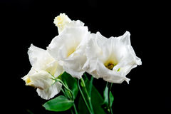 Primo piano del fiore di eustoma su un fondo nero Immagini Stock