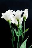 Primo piano del fiore di eustoma su un fondo nero Immagine Stock Libera da Diritti