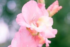 Primo piano del fiore di gladiolo Fotografie Stock Libere da Diritti