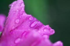 Primo piano del fiore di gladiolo Fotografia Stock