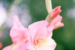 Primo piano del fiore di gladiolo Immagine Stock Libera da Diritti