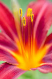 Primo piano del fiore di Lilia Fotografia Stock Libera da Diritti