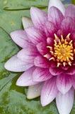 Primo piano del fiore di loto Fotografia Stock