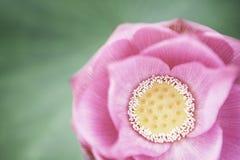 Primo piano del fiore di loto rosa, Cina Fotografia Stock