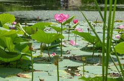 Primo piano del fiore di Lotus Immagini Stock