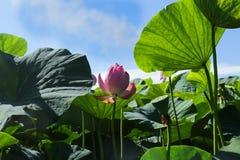 Primo piano del fiore di Lotus Immagini Stock Libere da Diritti