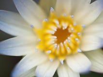 Primo piano del fiore di Lotus Fotografia Stock Libera da Diritti