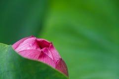Primo piano del fiore di Lotus e fondo di struttura Fotografia Stock Libera da Diritti