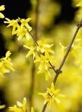 Primo piano del fiore di maggiociondolo al fiore Fotografia Stock Libera da Diritti