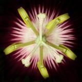 Primo piano del fiore di passione Fotografia Stock