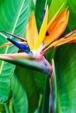 Primo piano del fiore di strelitzia reginae Fotografie Stock