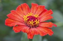 Primo piano del fiore di zinnia Fotografie Stock Libere da Diritti