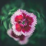 Primo piano del fiore del Dianthus del garofano Fotografia Stock