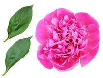 Primo piano del fiore e delle foglie rosa della peonia Fotografie Stock