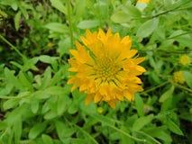 Primo piano del fiore giallo con la carta da parati del fondo della natura delle foglie, Immagini Stock Libere da Diritti